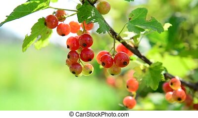 baies, groseille, jardin, mûre, rouges
