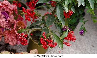 baies, sol, viburnum, plante, rouges, dispersé, pot