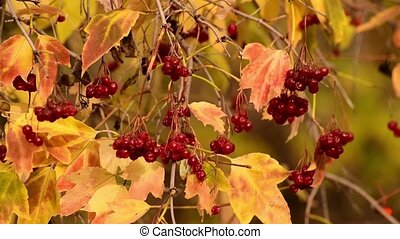 baies, viburnum, automne, mûre