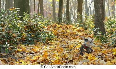 baissé, lent, jaune, miniature, rigolote, sec, chien, schnauzer, extérieur, ou, sauter, mo, motion., feuillage, automne, zwergschnauzer, day., ensemble