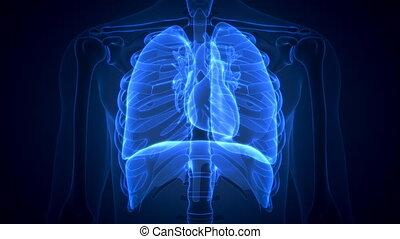 balayage, poumons, projection, anatomie, animation, humain, malade