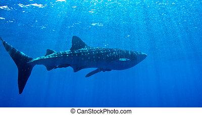 baleine, sun., requin