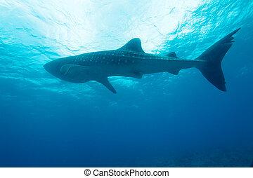 baleine, typus), requin, (rhincodon, maldives