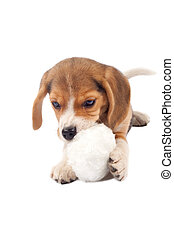 balle, beagle, mastication, chiot, fourrure