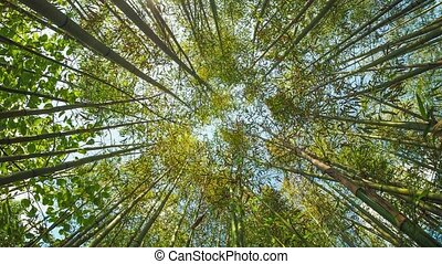 bambou, perspective, arbre