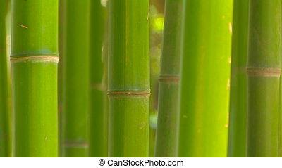 bambou, prise vue., voyante, bosquet