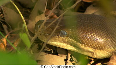 bardick, serpent, dévisager, attentivement