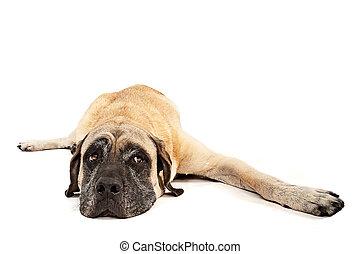 bas, isolé, pose, mastiff, chien, blanc