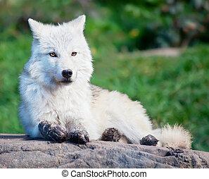 bas, loup arctique, jeune, mensonge