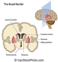 basal, cerveau, noyaux