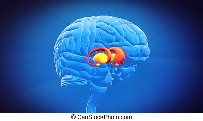 basal, -, ganglia, cerveau, partie