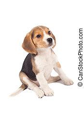beagle, chiot, fatigué