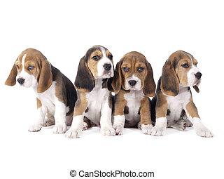 beagle, chiots