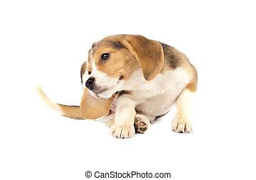 beagle, grattement, chiot