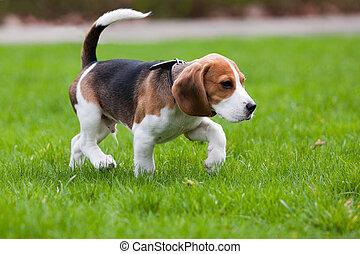 beagle, herbe, chien vert