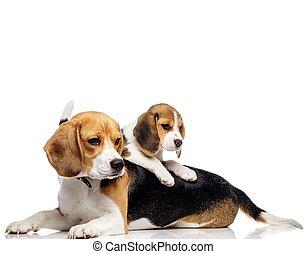 beagle, isolé, famille, beau, blanc