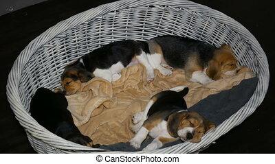 beagle, panier, 3, chiens, puppyies