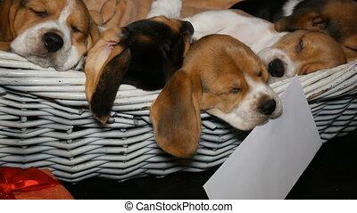 beagle, panier, chiens, puppyies