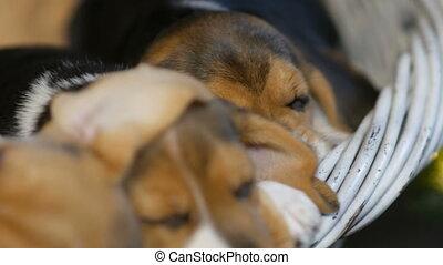 beagle, panier, dormir, chiens, puppyies