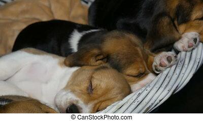beagle, panier, sommeil, chiens, puppyies