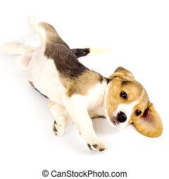 beagle, rouler, chiot