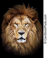 beau, énorme, contre, lion, arrière-plan noir, africaine, portrait, mâle