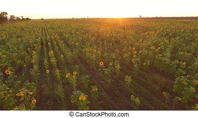 beau, été, coup, tournesol, secteur, mouvementde va-et-vient, coucher soleil, aérien