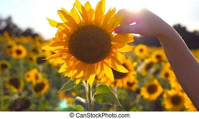 beau, été, pré, jaune, caresse, femme, fin, girl, bras, fleur, champ tournesol, soleil, concept., day., arrière-plan., ensoleillé, main, toucher, lent, haut, mouvement, flamme