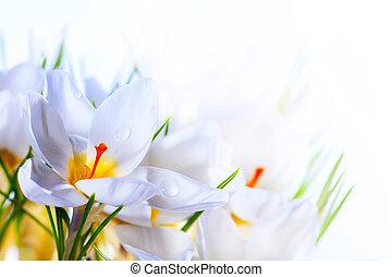 beau, art, printemps, colchique, fond, fleurs blanches