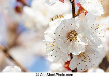 beau, art, printemps, scène abstraite, brouillé, frontière, rose, soleil, day., arrière-plan., flowers., paques, nature, ensoleillé, flare., fond, verger, springtime., blossom., arbre, fleurir, ou