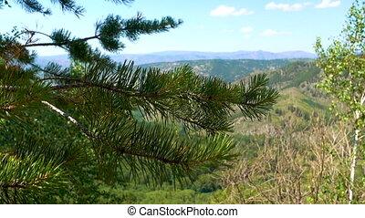 beau, branche, aiguilles pin, vert, sways, fond, montagnes., vent