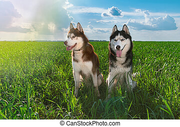 beau, chien bleu, intelligent, affectionate., séance, ensoleillé, ciel, sibérien, contre, clouds., vert, chiens esquimaus, paire, husky, herbe, jour
