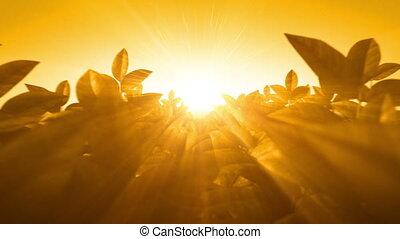 beau, coucher soleil, feuilles, par