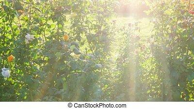 beau, coup, jardin, buisson, roses, foyer, sélectif, backlit