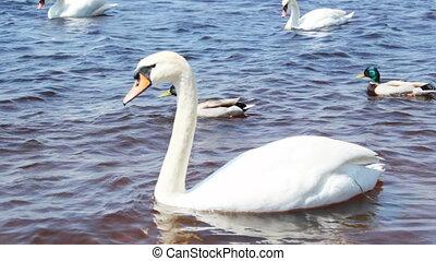 beau, cygnes, blanc, rivière