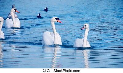 beau, cygnes, natation