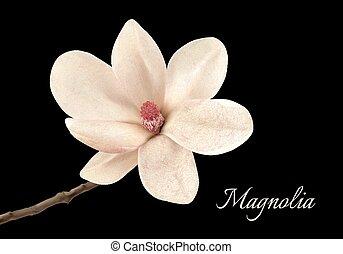 beau, fleur, magnolia, isolé, arrière-plan., noir, vector., blanc