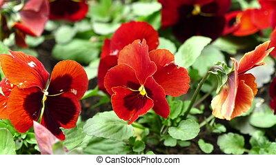 beau, footage., wind., violettes, fhd, fleurs, stockage
