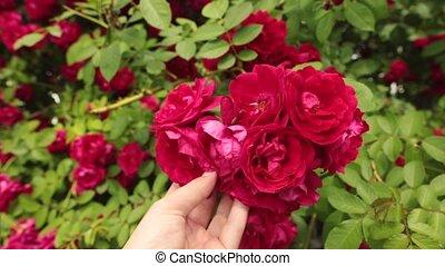 beau, garden., main, roses, tenue, rouges, homme