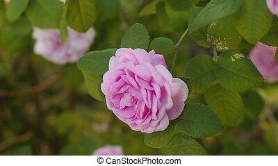 beau, garden., rose, ensoleillé, day., doux