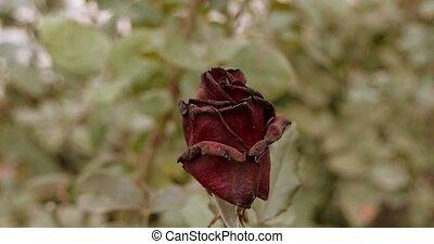 beau, jardin, ensemble, rose, mort, mood., vendange, couleur chute, triste, sombre, foyer, sélectif, plante, automne, rouges