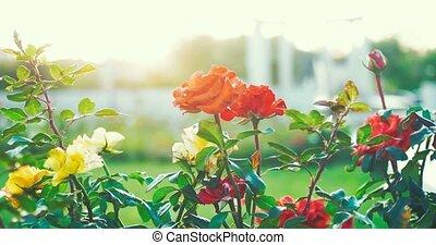 beau, jardin, rose, backlit, monture, vidéo, soleil, coucher soleil, fleurs