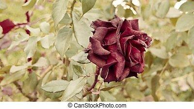 beau, jardin, rose, mort, mood., vendange, couleur chute, triste, sombre, foyer, sélectif, plante, automne, rouges