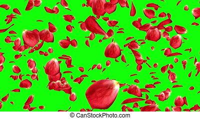 beau, lotissements, rose, écran, isolé, pétales, vert, tomber, rouges