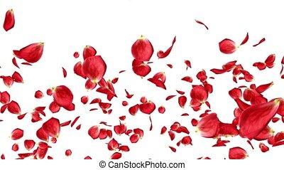 beau, lotissements, rose, isolé, pétales, fond, tomber, blanc rouge