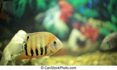 beau, nager, différent, tailles, eau, aquarium, poissons, transparent