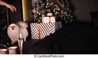 beau, noël, intérieur, chien, arbre, pomeranian, dons