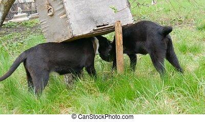 beau, noir, chiots, chien, chaque, idiot, autre, herbe verte, jeu, développé, autour de, deux
