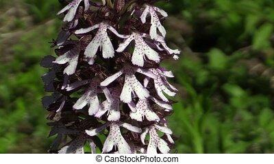beau, orchis, purpurea, pourpre, sauvage, orchidée