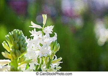 beau, parfumé, printemps, floraison, jacinthe, arrière-plan vert, blanc, coloré